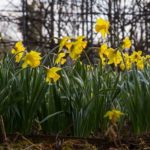 narcisi in fiore