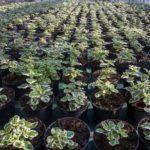plectranthus serra