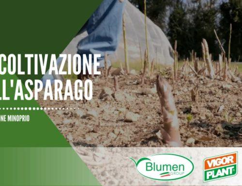 La coltivazione dell'asparago